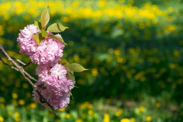 pink sakura blossom twig above the grassy lawn stock photo