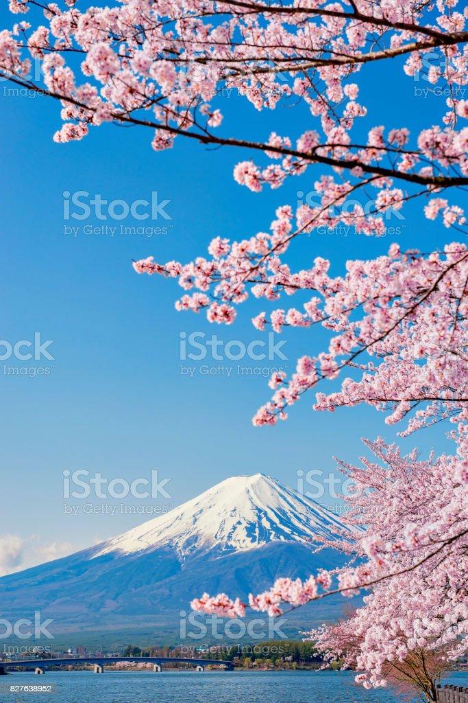 Pink Sakura Branches and Fuji Mountain Background at Kawaguchiko Lake stock photo