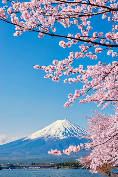 pink sakura branches and fuji mountain background at kawaguchiko lake - japan stock photos and pictures