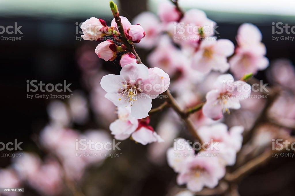 Pink Sakura flower blooming in Hakodate royalty-free stock photo