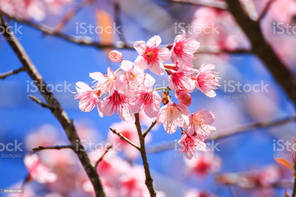 pink Sakura flower stock photo
