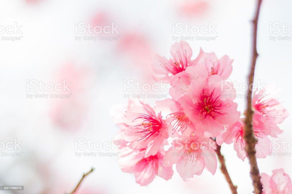 pink sakura flower. pink cherry blossom. pink sakura background. sakura season stock photo