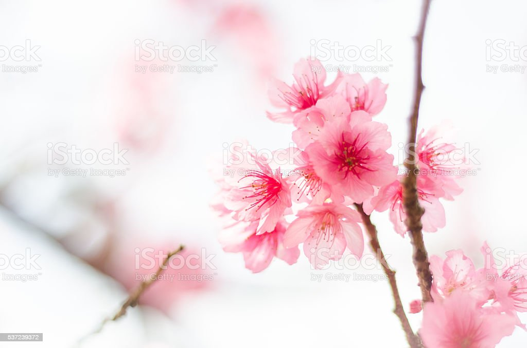 Pink sakura flower pink cherry blossom pink sakura background sakura pink sakura flower pink cherry blossom pink sakura background sakura season royalty mightylinksfo