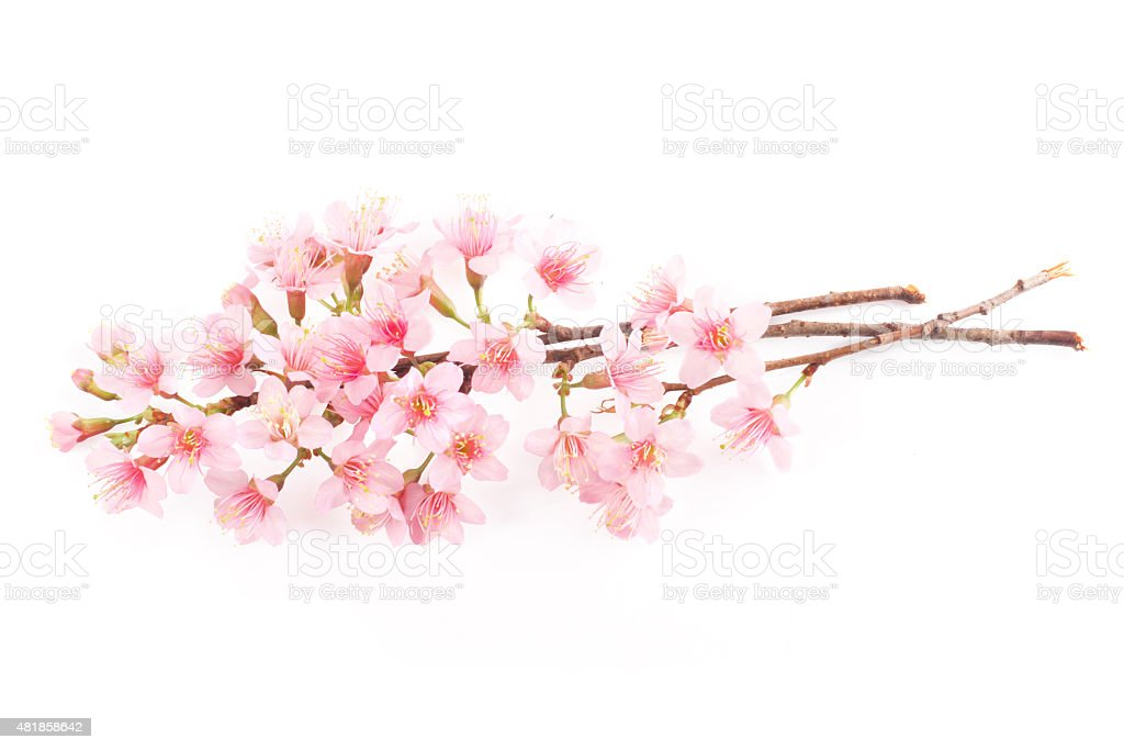 Pink Sakura Flower White Background Stock Photo More Pictures Of