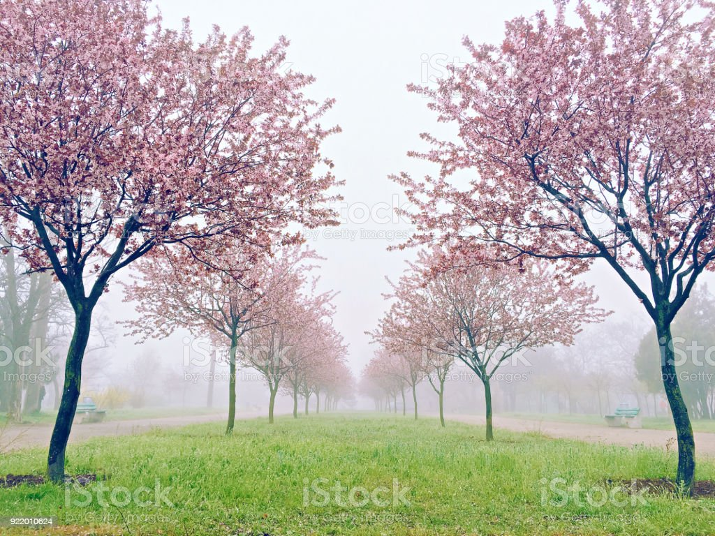 Pink Sakura Flowers Beautiful Cherry Blossom In Nature With Blurry