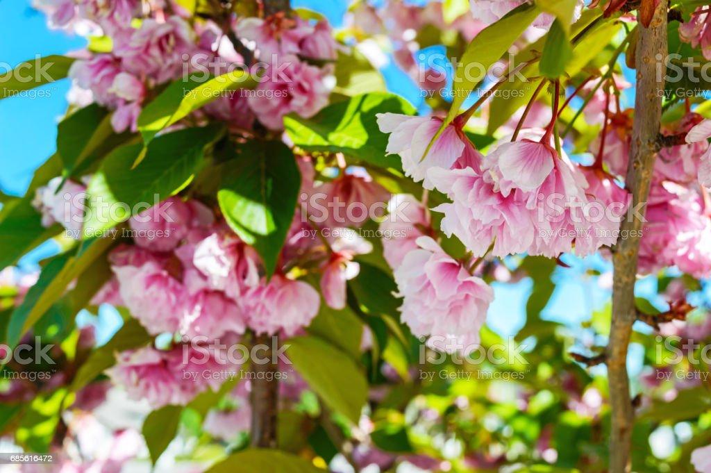 Rosa Sakura Blumen zwischen grünen Blättern. Bäume in voller Blüte. Floraler Hintergrund. Lizenzfreies stock-foto