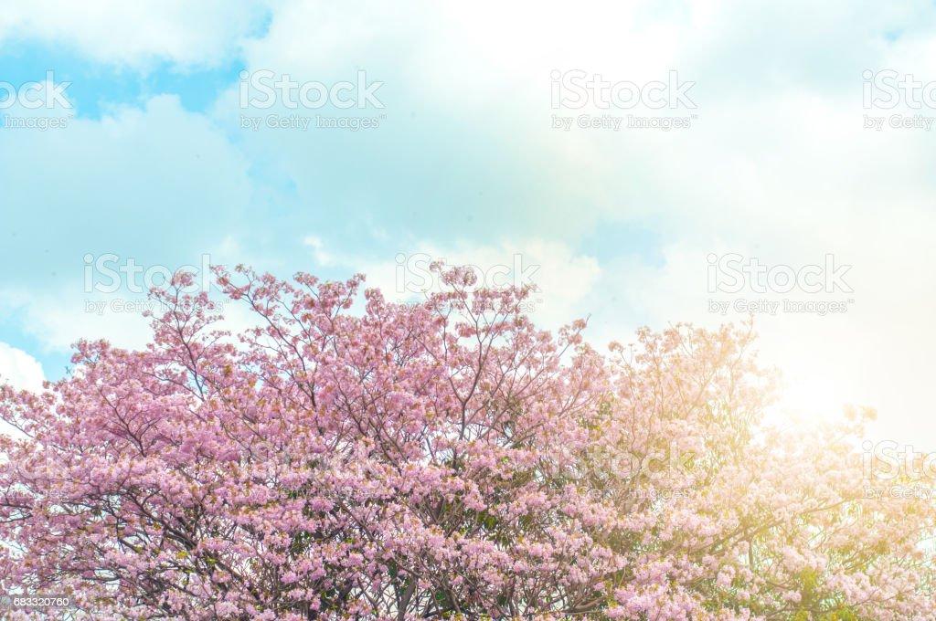 pink sakura or cherry blossom. Beautiful nature scene of blooming tree and sun flare royalty-free stock photo