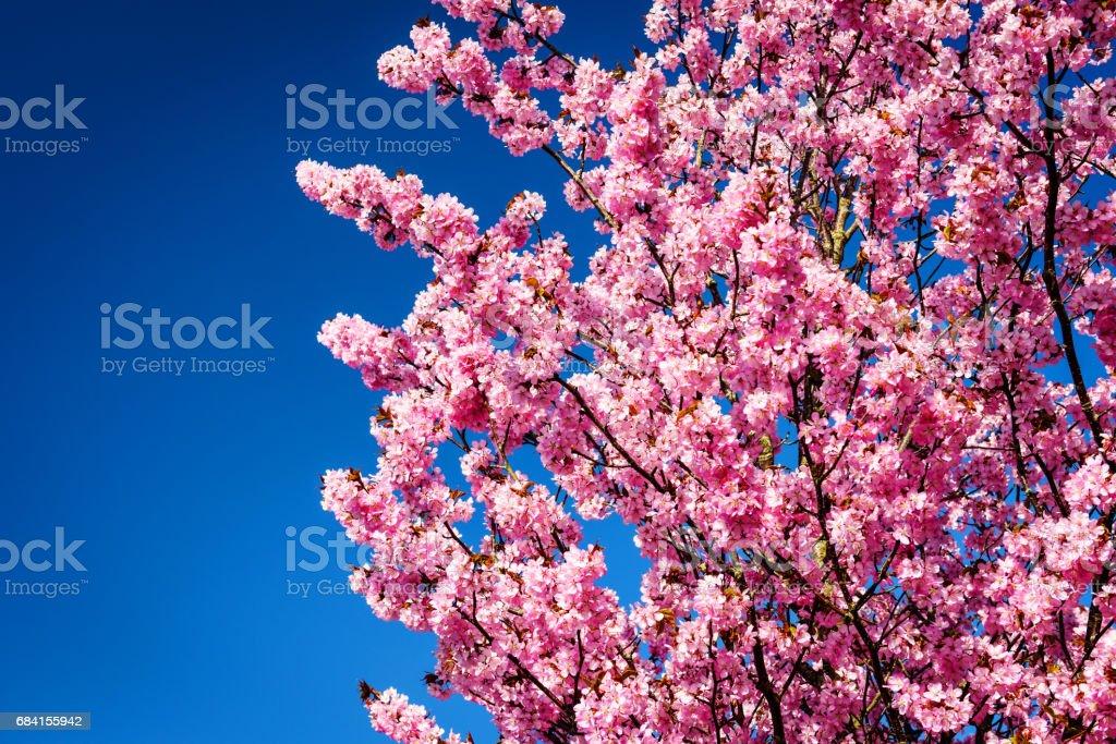 Roze sakura of kersenbloesem royalty free stockfoto