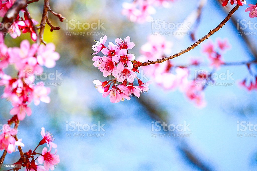 Pink sakura stock photo