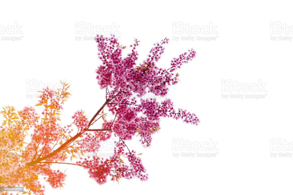 Pink Sakura Thailand flower blooming royalty-free stock photo