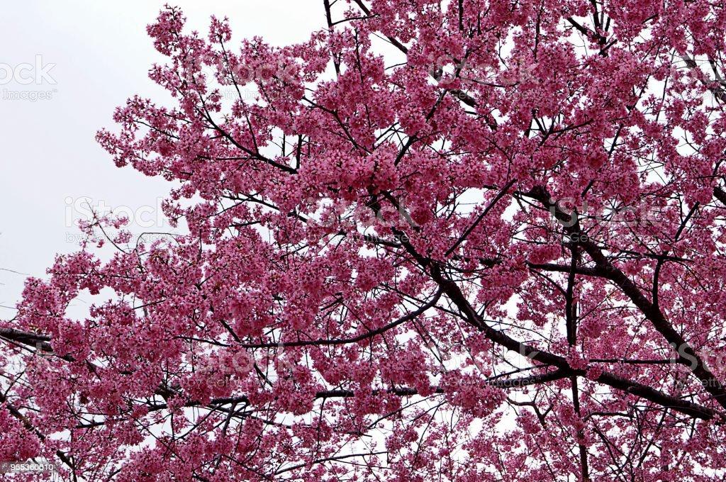 Pink Sakura Thailand flower blooming royalty-free stock photo