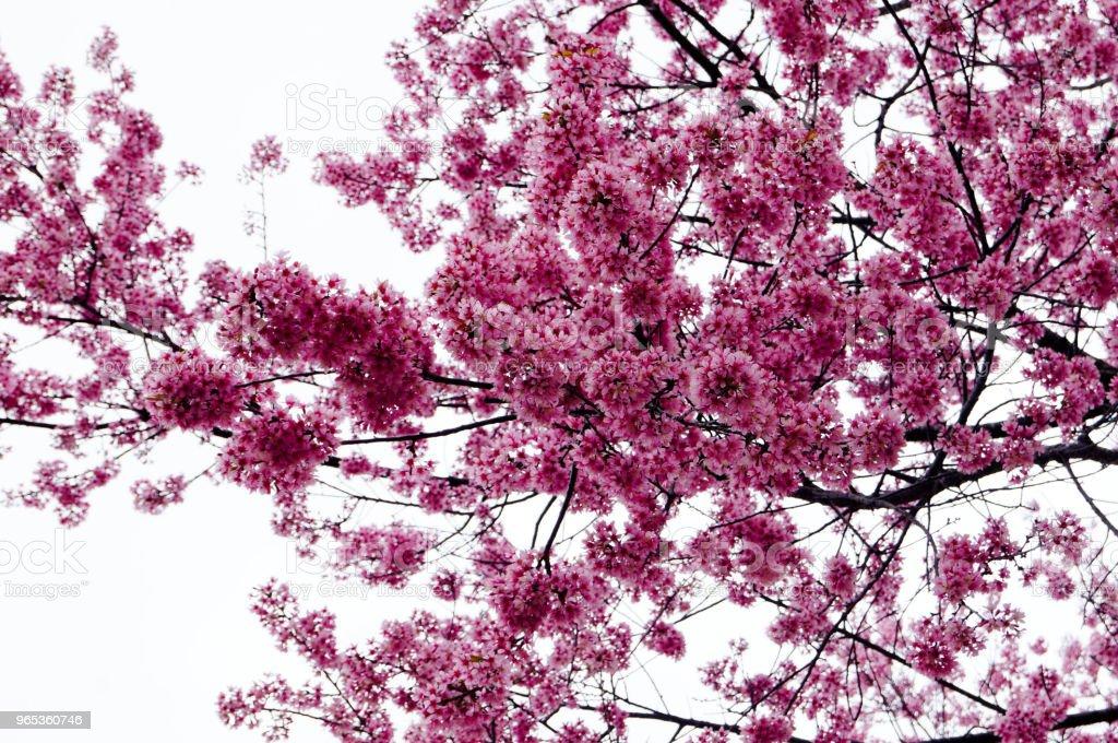 Pink Sakura Thailand flower blooming zbiór zdjęć royalty-free