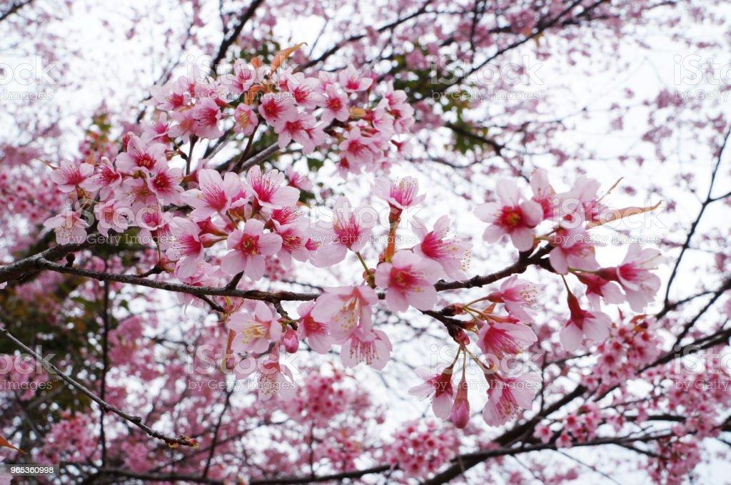 핑크 사쿠라 태국 꽃 피 - 로열티 프리 겨울 스톡 사진