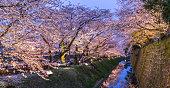 ピンクの桜の木(桜の花)の夕暮れに金沢城