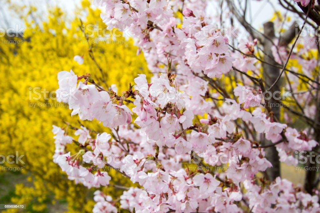 Pink Sakura With Yellow Forsythia Behindhanamiyama