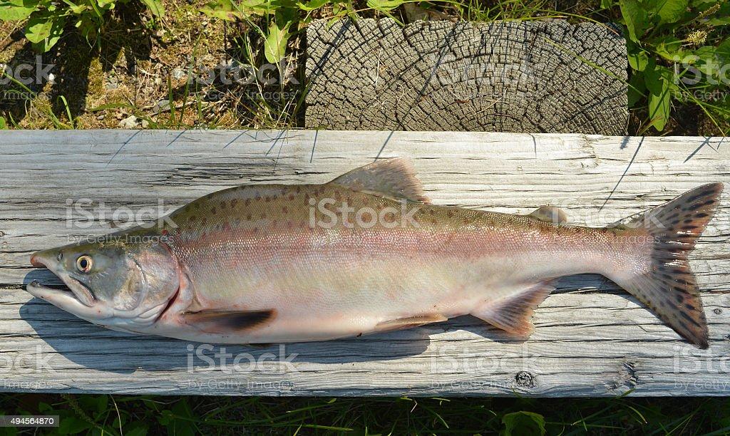 Pink salmon, Alaska stock photo
