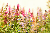 Pink salvia plants backlit in summer sunshine