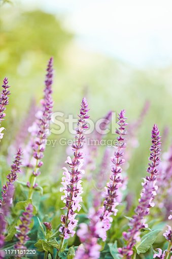 Pink salvia plants with soft bokeh