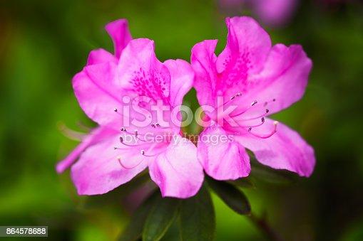 Closeup Pink satsuki azalea blooming