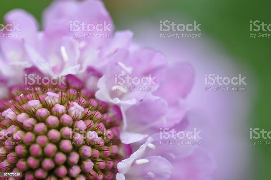 Pink scabious flower macro stock photo