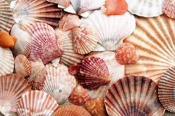pink scallops - pink and orange seashell background stockfoto's en -beelden