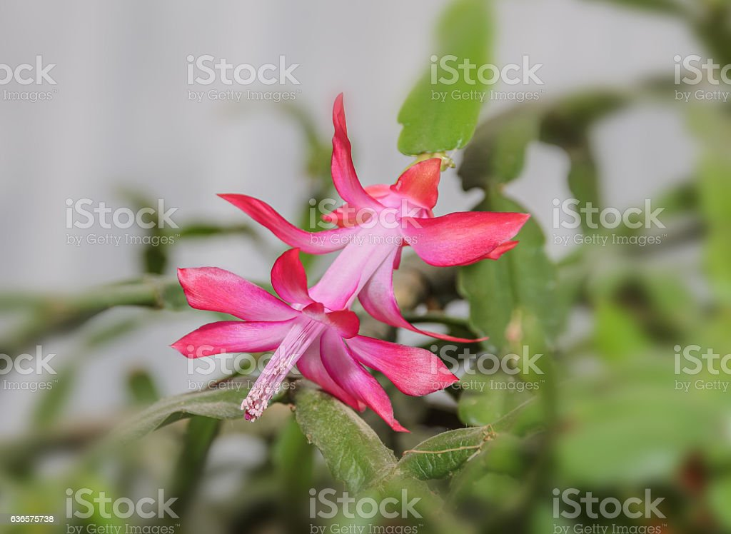 Pink Schlumbergera truncata flower, Christmas cactus stock photo