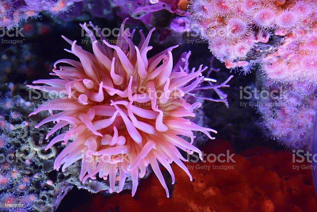 Pink Sea Anemone in Tidepool stock photo
