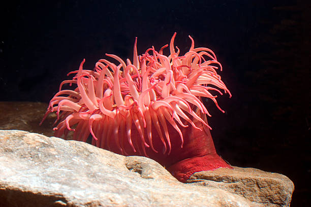 A pink sea anemone on a rock under the light Brillian Pink sea anenome, open and feeding. Note the white flecks in the background - that is the food this specimen is feeding on. sea anemone stock pictures, royalty-free photos & images