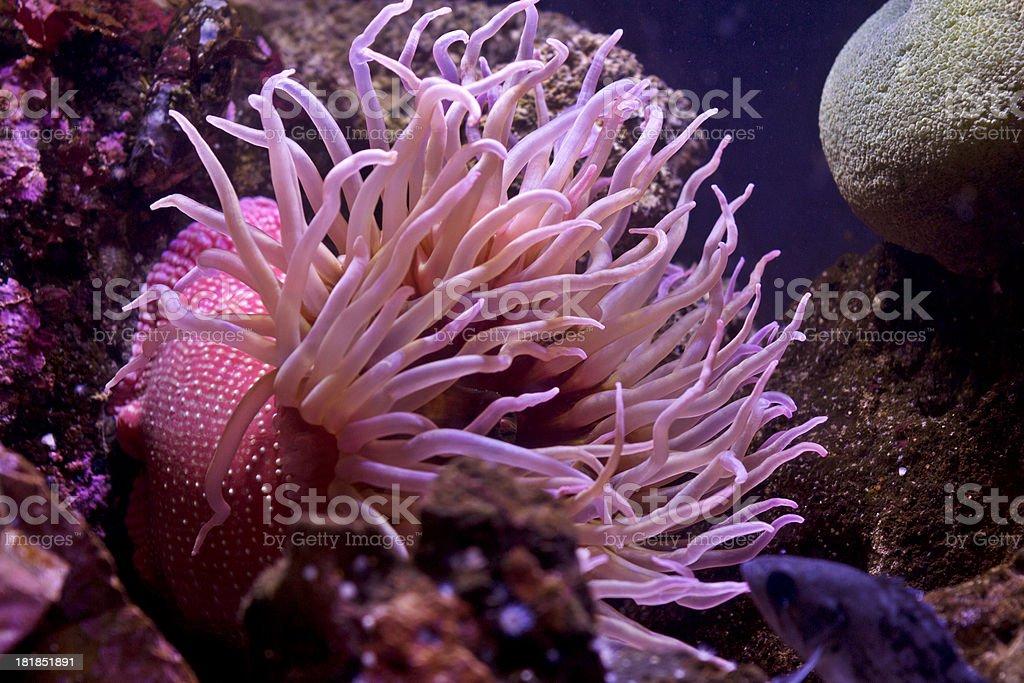 Pink Sea Anemone stock photo