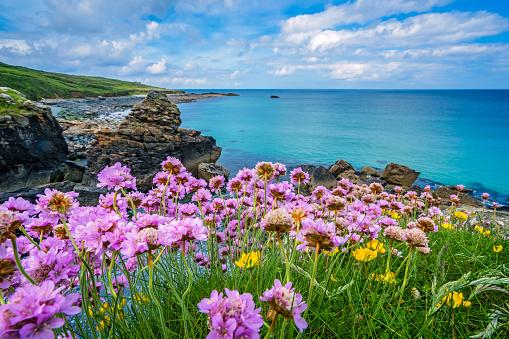 Pink sea thrift flowers on the sea coast