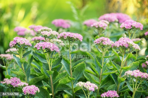 Pink blooming Sedum flowers in a flowerbed.