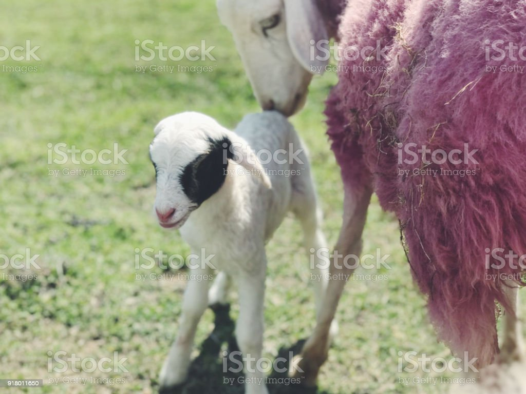 pink sheep and her new born baby at village farm stock photo