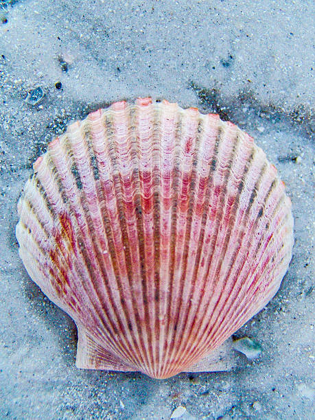 pink shell in the sand stock photo