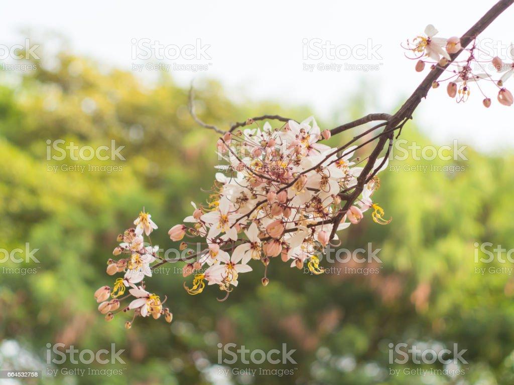 Pink shower, Wishing tree, horse Cassia Thailand beautiful royalty-free stock photo