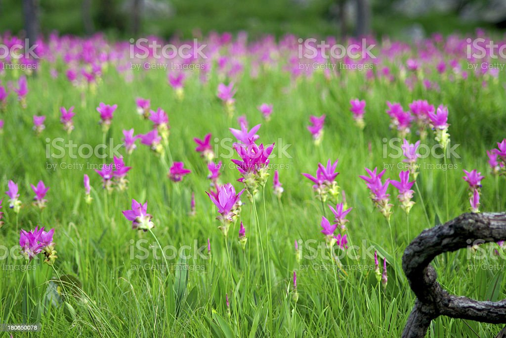Pink Siam Tulip flower royalty-free stock photo