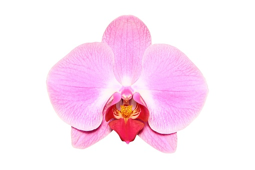 Orchid (isolated)