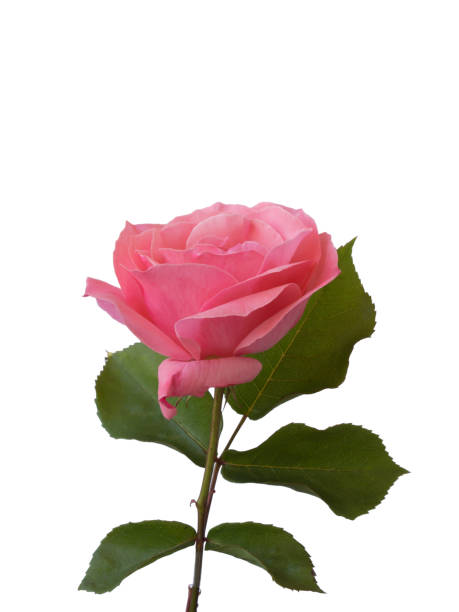 Pink single rose with isolated white background picture id954433404?b=1&k=6&m=954433404&s=612x612&w=0&h=9tcfdec19gifcdzo3t2267 g02y0co qpqr9tomb4o0=