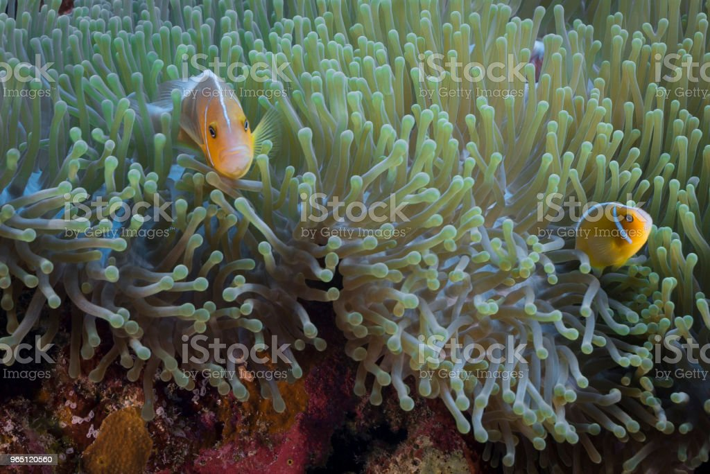 Pink Skunk Clownfish and Anemone royalty-free stock photo