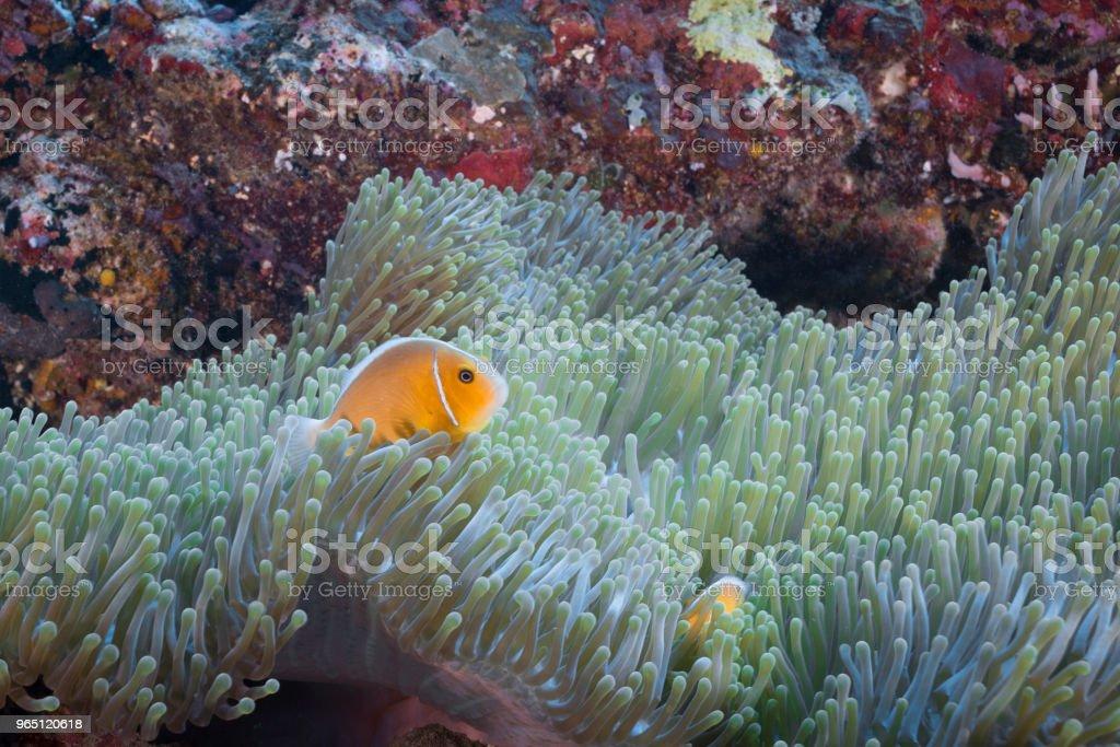 Pink Skunk Clownfish and Anemone zbiór zdjęć royalty-free