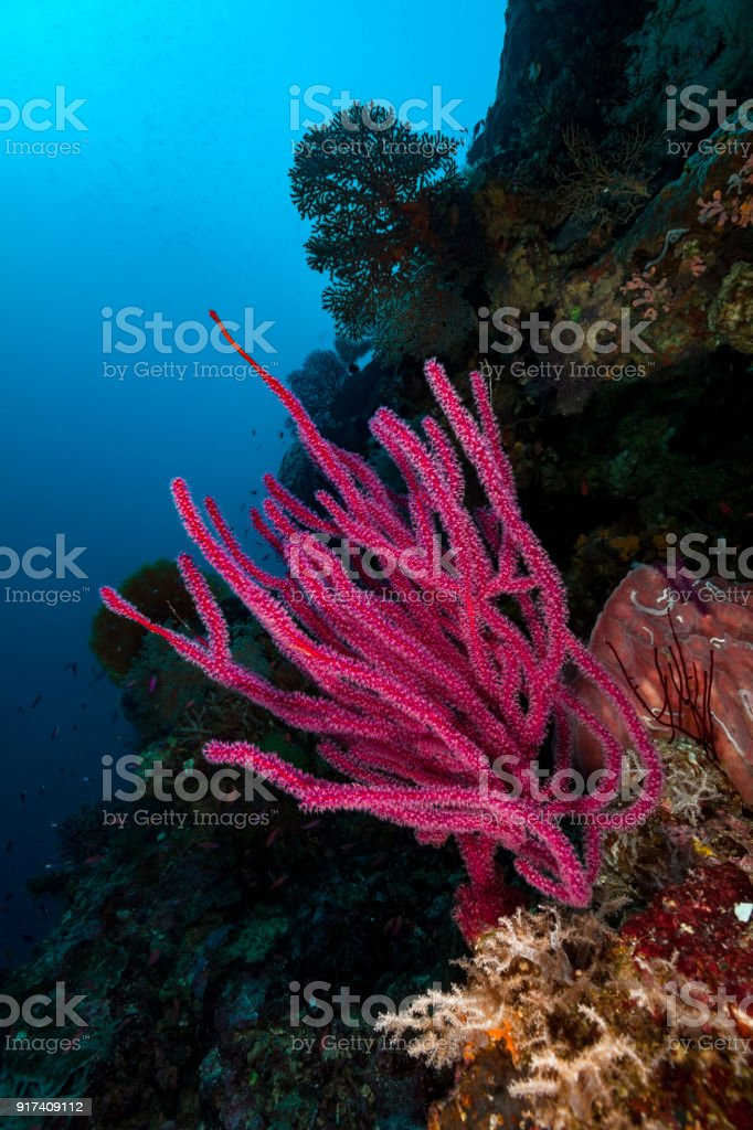 Pink Soft Coral Beauty Dichotella sp., Deep Reef, Indonesia stock photo