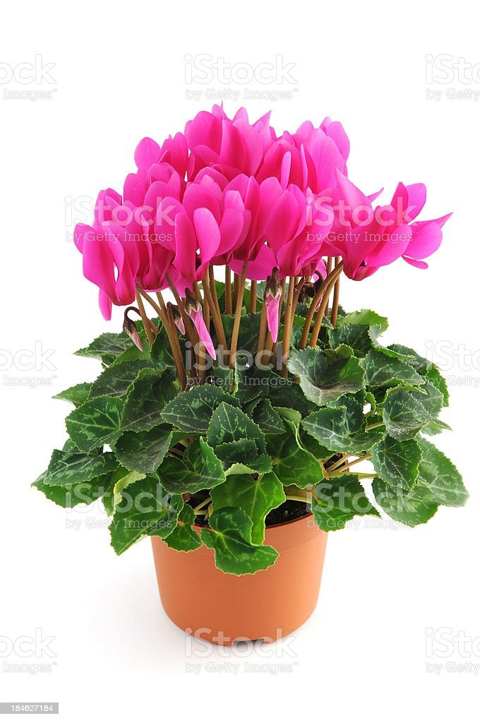 pink sowbread (Cyclamen) stock photo
