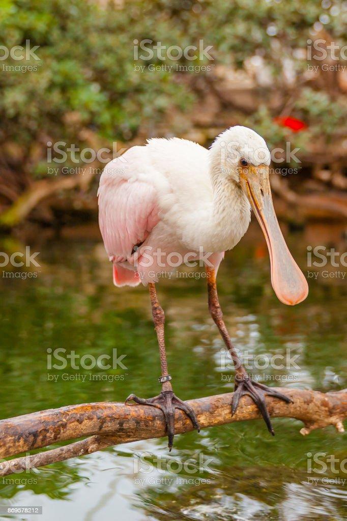 pink spatula bird stock photo