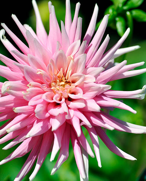 Pink Spider Chrysanthemum Pink Spider Chrysanthemum neilliebert stock pictures, royalty-free photos & images