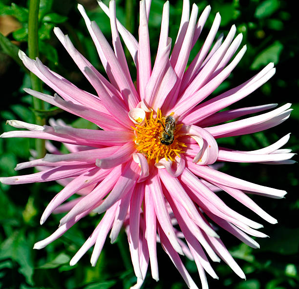 Pink Spider Chrysanthemum, with Bee 2 Close-up of a bee pollinating a pink spider chrysanthemum neilliebert stock pictures, royalty-free photos & images
