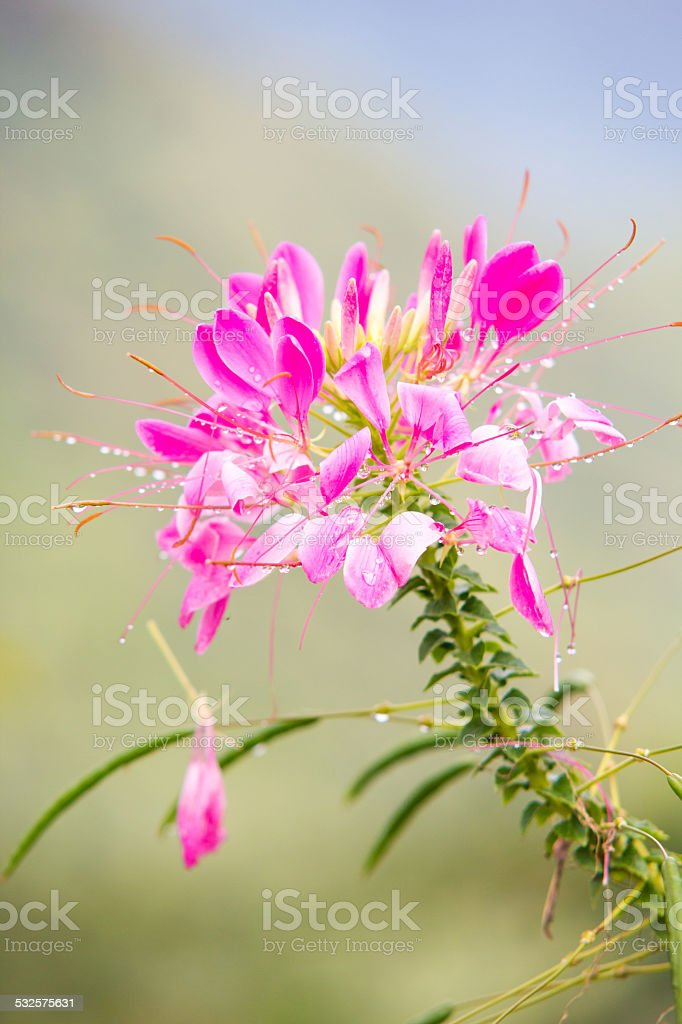 Pink Spider flower or Cleome spinosa stock photo