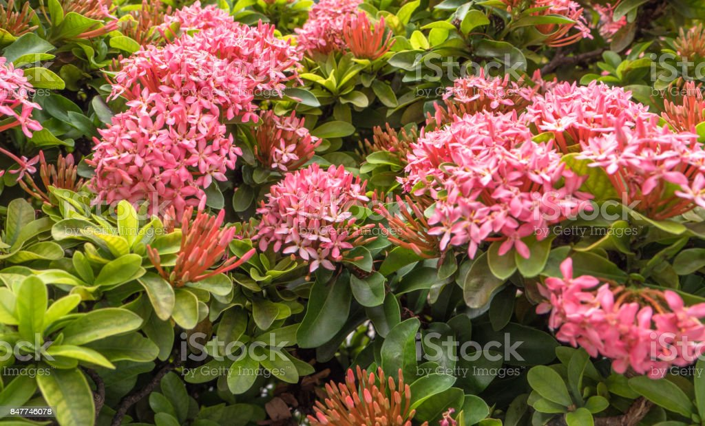 Pink spike flower in the garden stock photo istock pink spike flower in the garden royalty free stock photo mightylinksfo Image collections