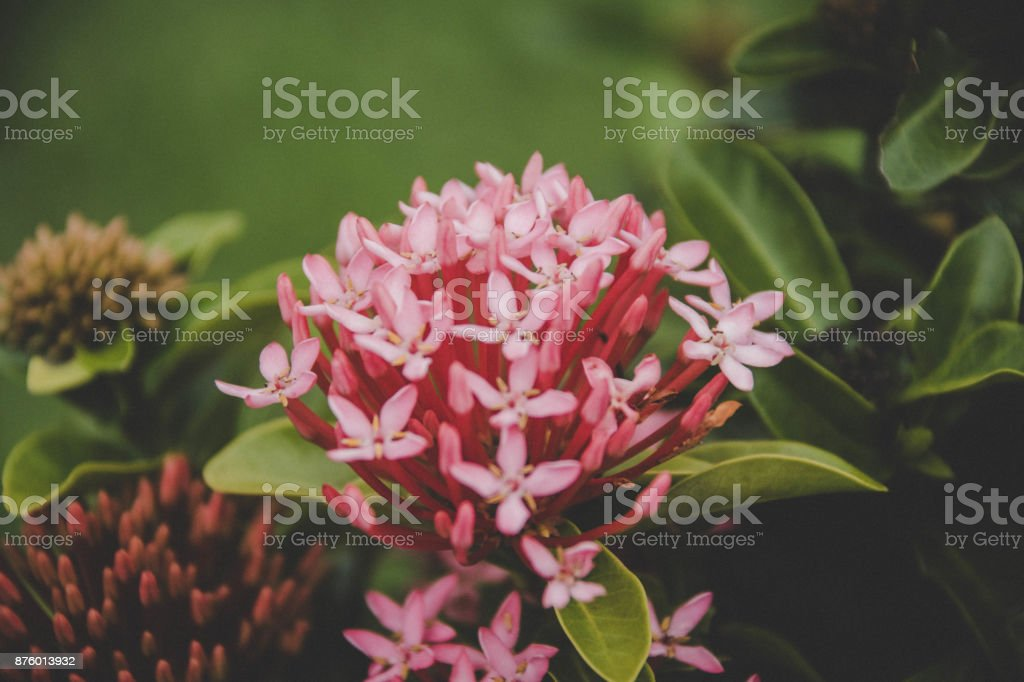 Pink spike flower stock photo more pictures of beauty istock pink spike flower royalty free stock photo mightylinksfo Image collections
