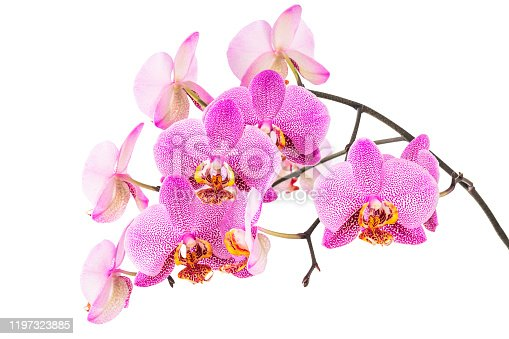 Pink spotted moth orchid flowers (Phalaenopsis) on a branch, isolated on a white background. Spring floral scene.