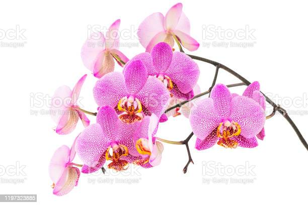 Pink spotted moth orchids picture id1197323885?b=1&k=6&m=1197323885&s=612x612&h=0sayta fivwndkwey91ssg6jtxb478dp1x12xkod9tq=