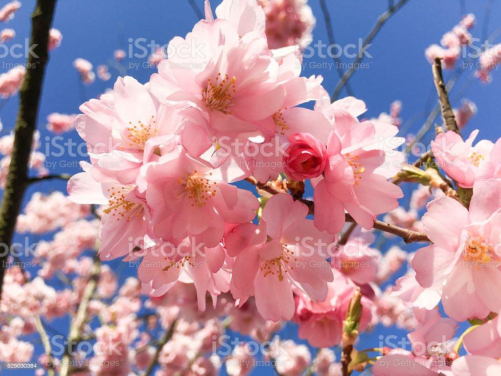 Pink Spring blooming cherry flowers Sakura stock photo